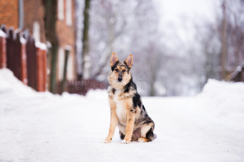 Mixed breed dog outdoors in winter. Beautiful mixed breed dog outdoors royalty free stock image