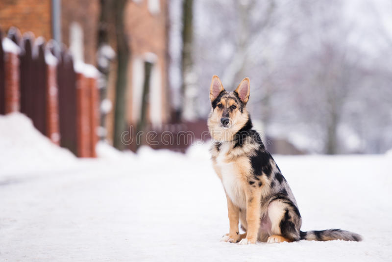 Mixed breed dog outdoors in winter. Beautiful mixed breed dog outdoors royalty free stock images