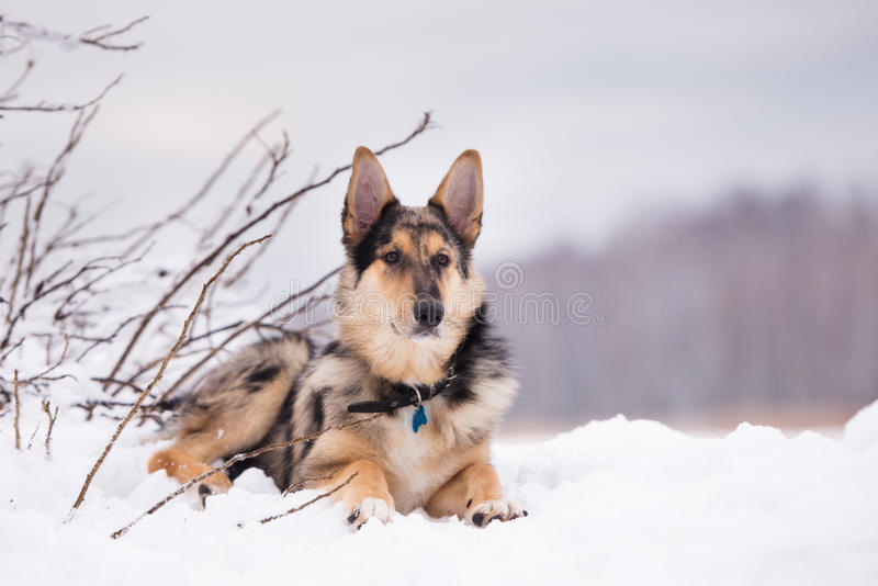 Mixed breed dog outdoors in winter. Beautiful mixed breed dog outdoors royalty free stock photos