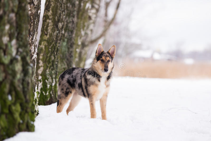 Mixed breed dog outdoors in winter. Beautiful mixed breed dog outdoors stock images