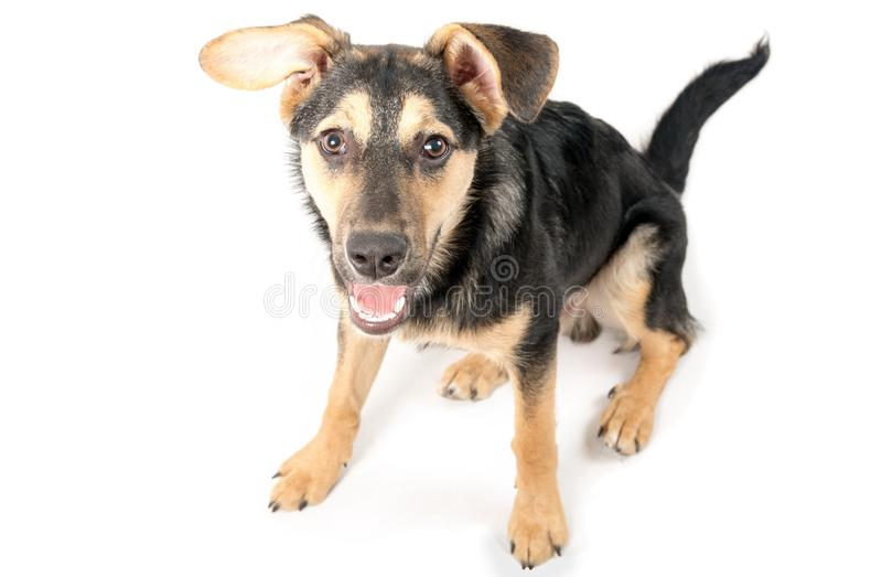 Mixed breed dog. Portrait on the white royalty free stock photos