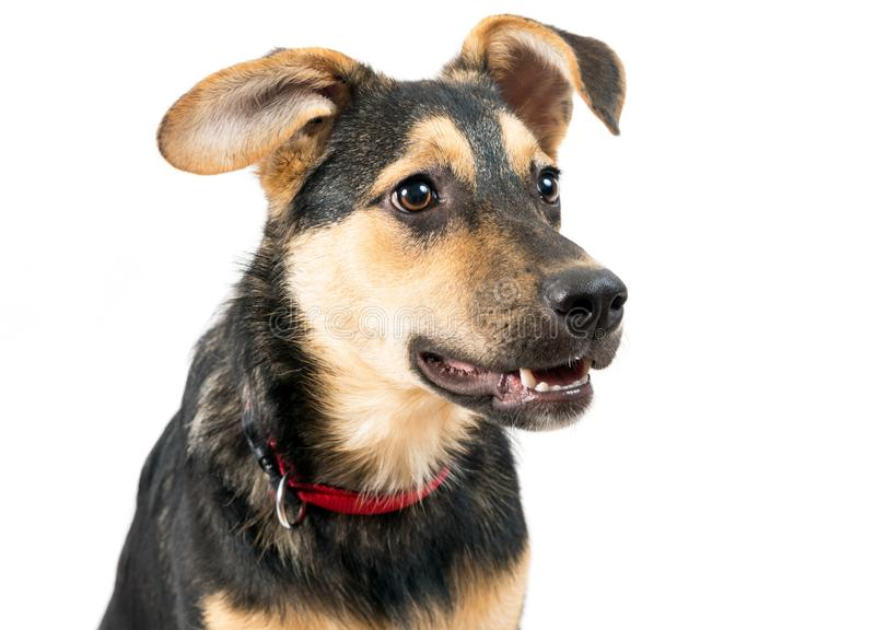 Mixed breed dog. Portrait on the white stock photo