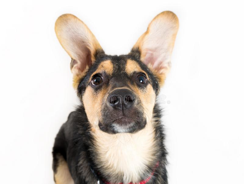 Mixed breed dog. Portrait on the white royalty free stock photo