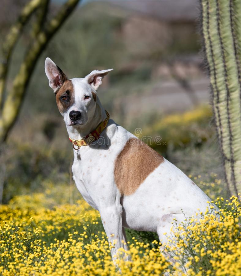 Mixed breed dog posing in wild flowers. White and tan dog sitting in desert wild flowers posing for a portrait stock photo