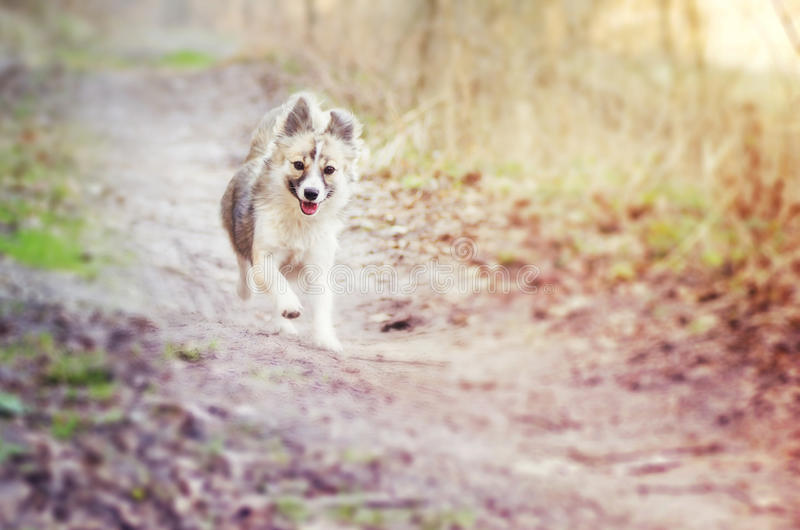 Mixed breed dog running. A mixed breed dog running on a dirt path royalty free stock images