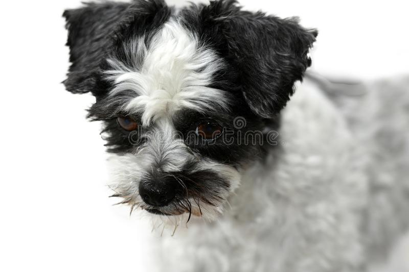 Cute little mongrel dog with scary looking eyes. Mixed-breed dog between shih tzu and maltese dog with scary looking eyes stock photo