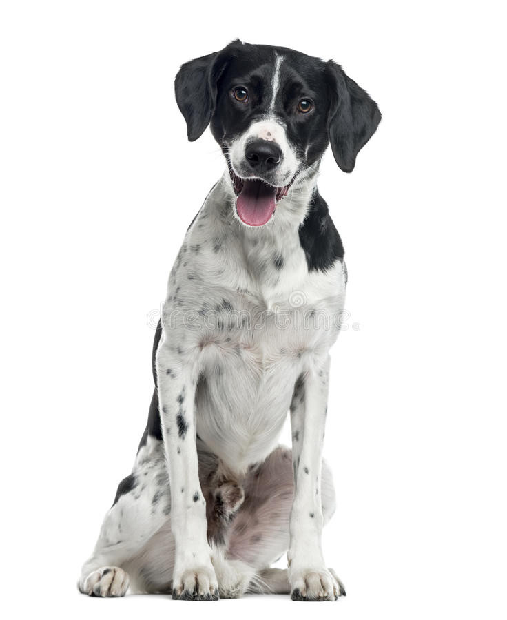 Mixed-breed dog sitting, 2 years old , isolated stock photography