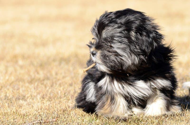 Mixed breed dog with a stick. Mixed breed dog posing at the camera royalty free stock photos
