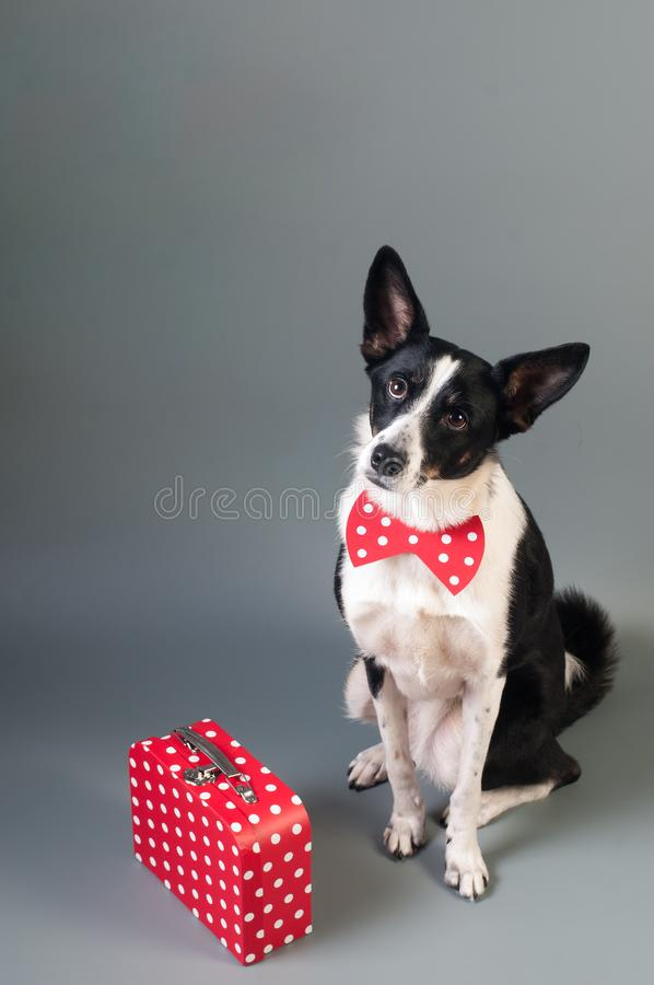 Mixed breed dog with travel box. Red with white dots sits on plain gray background at studio royalty free stock photo