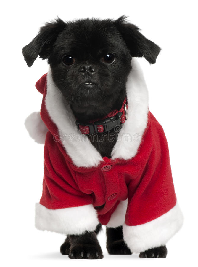 Mixed-breed dog wearing Santa outfit stock photo