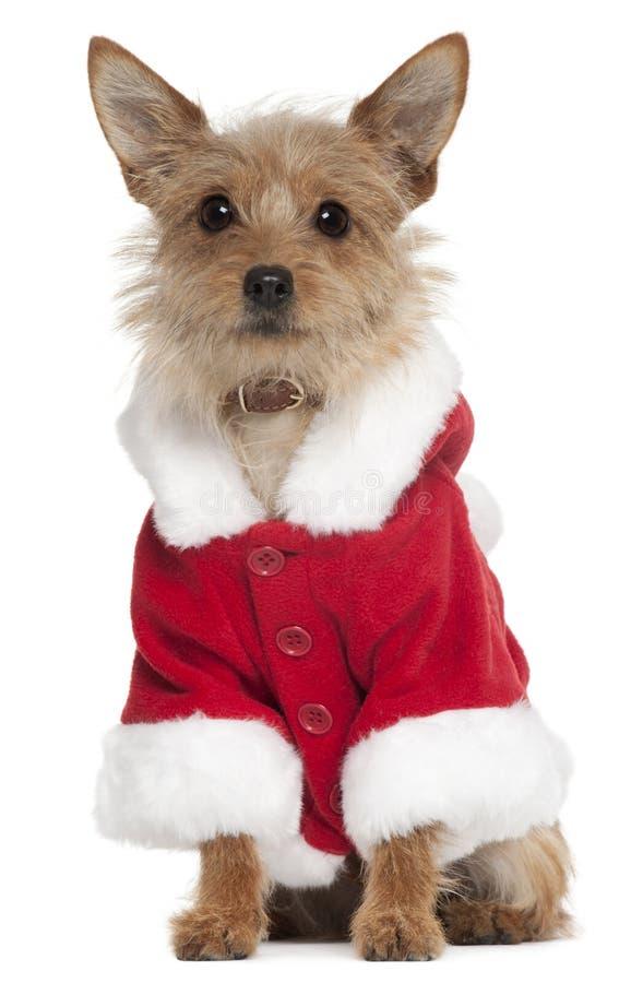 Mixed-breed dog wearing Santa outfit royalty free stock images
