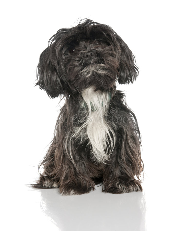 Mixed-Breed Dog between a yorkshire and a Lhasa Ap stock photo