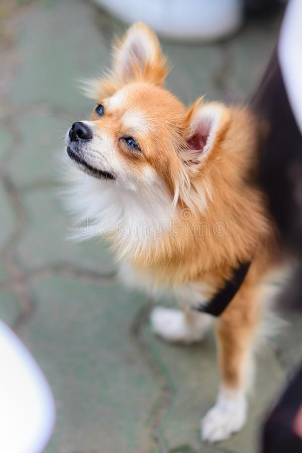 Mixed breed dogs between Pomeranian and Thai traditional breeds stock photography