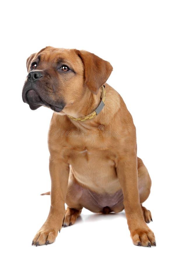 Mixed breed Dogue de Bordeaux stock photo
