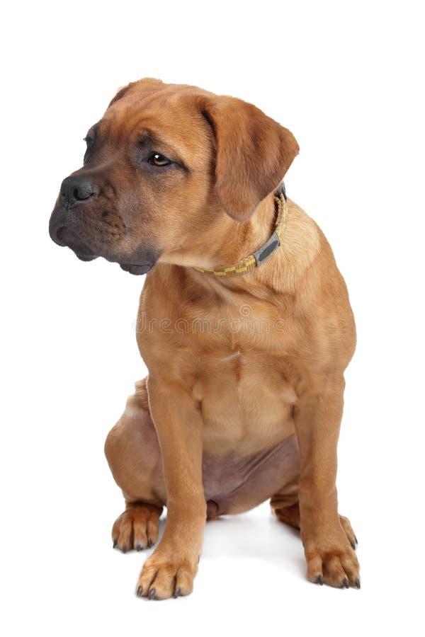 Mixed breed Dogue de Bordeaux stock image