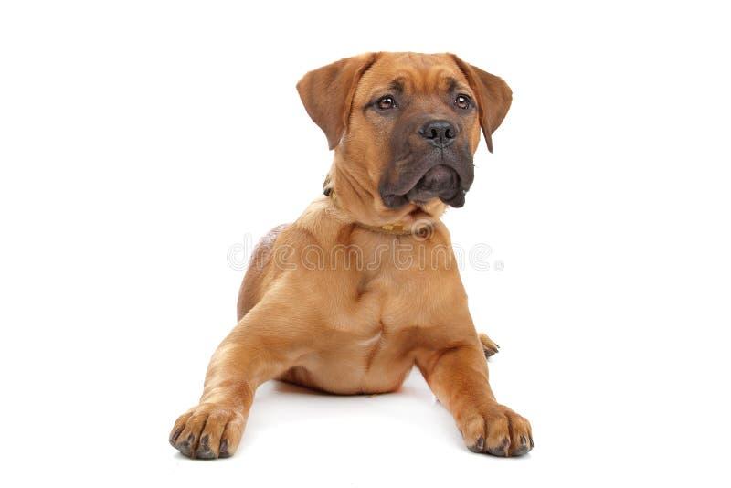 Mixed breed Dogue de Bordeaux royalty free stock photo
