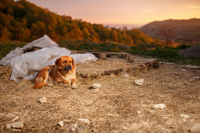 Mixed Breed Ginger Dog Lies on Manger. At Evening light royalty free stock image