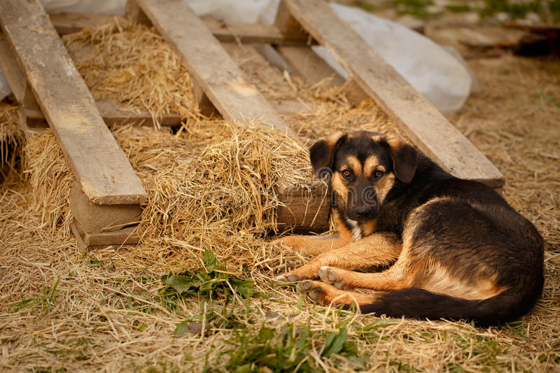 Mixed Breed Ginger Dog Lies on Manger. At Evening light royalty free stock photo