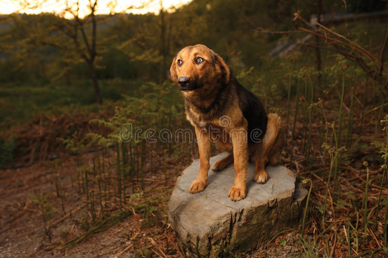 Mixed Breed Ginger Dog Sits on Stone ,Curious. Mixed Breed Ginger Dog Sits on Stone and Curious Looking royalty free stock photo