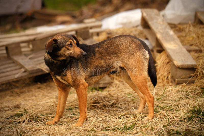 Mixed Breed Ginger Dog Stands on Manger. And Turned Back royalty free stock images