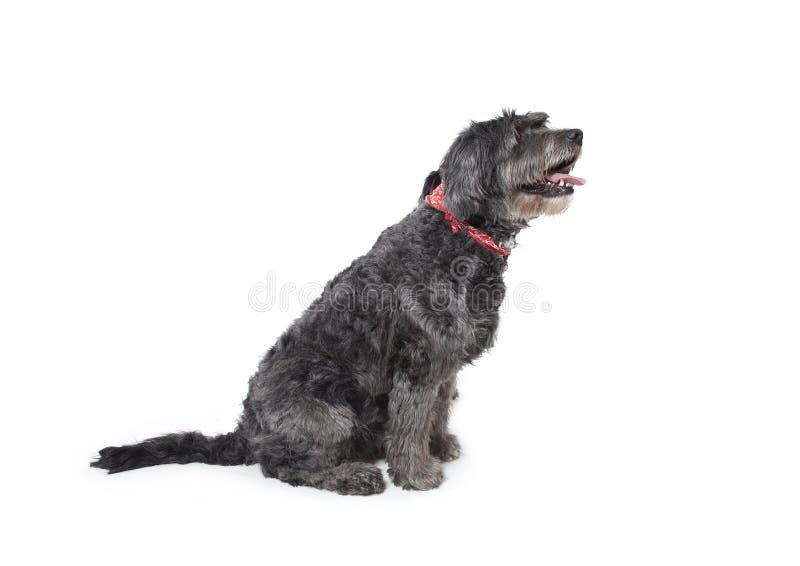 Gray Dog Stock Image