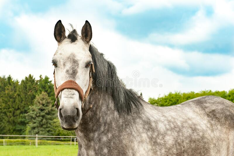 Grey brown horse with bright spotted fur and grey mane stock photo