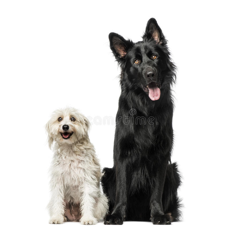 Mixed breed royalty free stock images