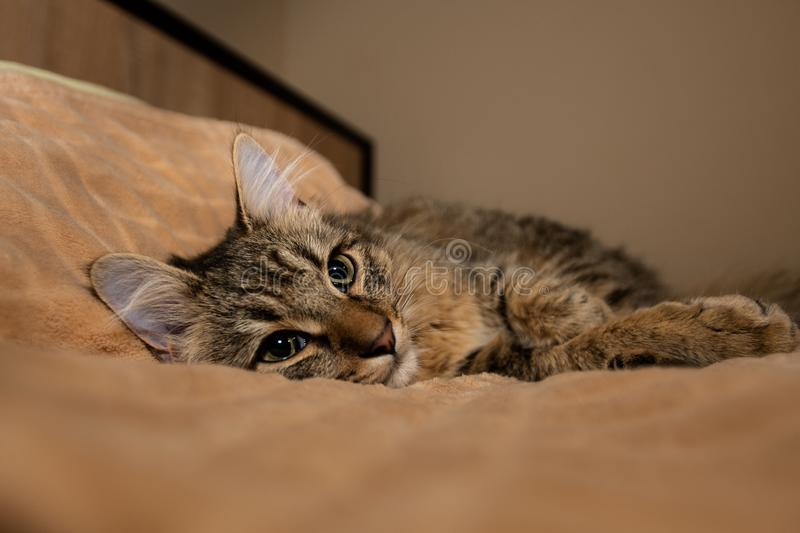 Mixed breed kitten five month lying on bed royalty free stock images