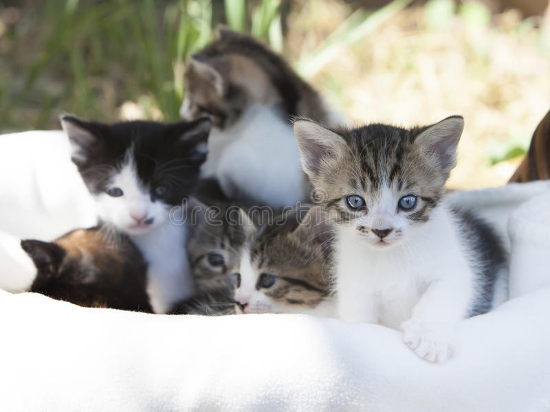 Mixed Breed Kittens. Six mix breed kittens in basket, front tabby kitten with paw on edge of basket in focus with five kittens blurred in background. A concept stock image