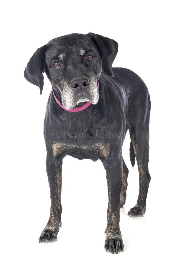 Mixed-breed labrador retriever royalty free stock photo