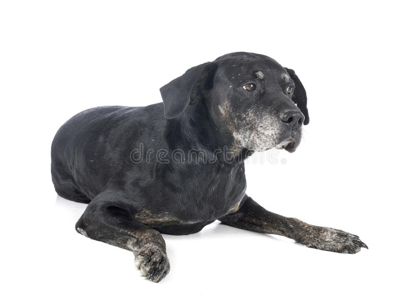 Mixed-breed labrador retriever royalty free stock images