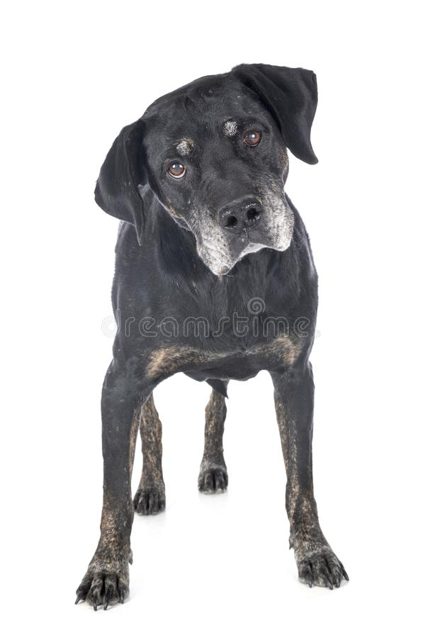 Mixed-breed labrador retriever stock images