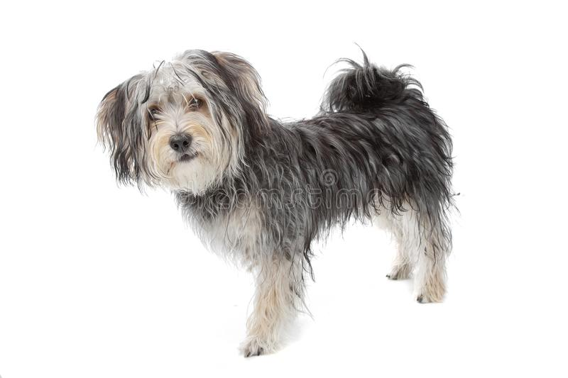 Mixed breed maltese dog/yorkshire terrier royalty free stock image
