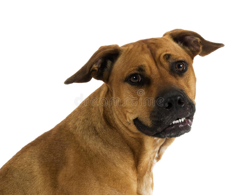 Mixed breed Pit Bull stock images