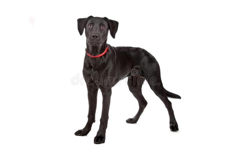 Mixed breed, puppy. Mixed breed puppy labrador/shepherd isolated on white stock photography