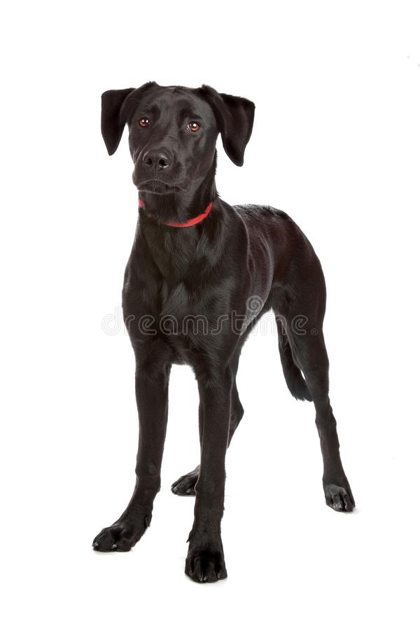 Mixed breed, puppy. Mixed breed puppy labrador/shepherd isolated on white stock photos