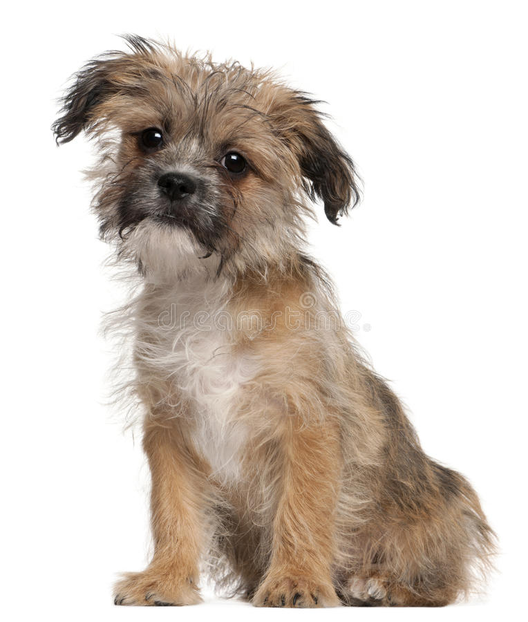 Mixed-breed puppy, 3 months old, sitting stock image