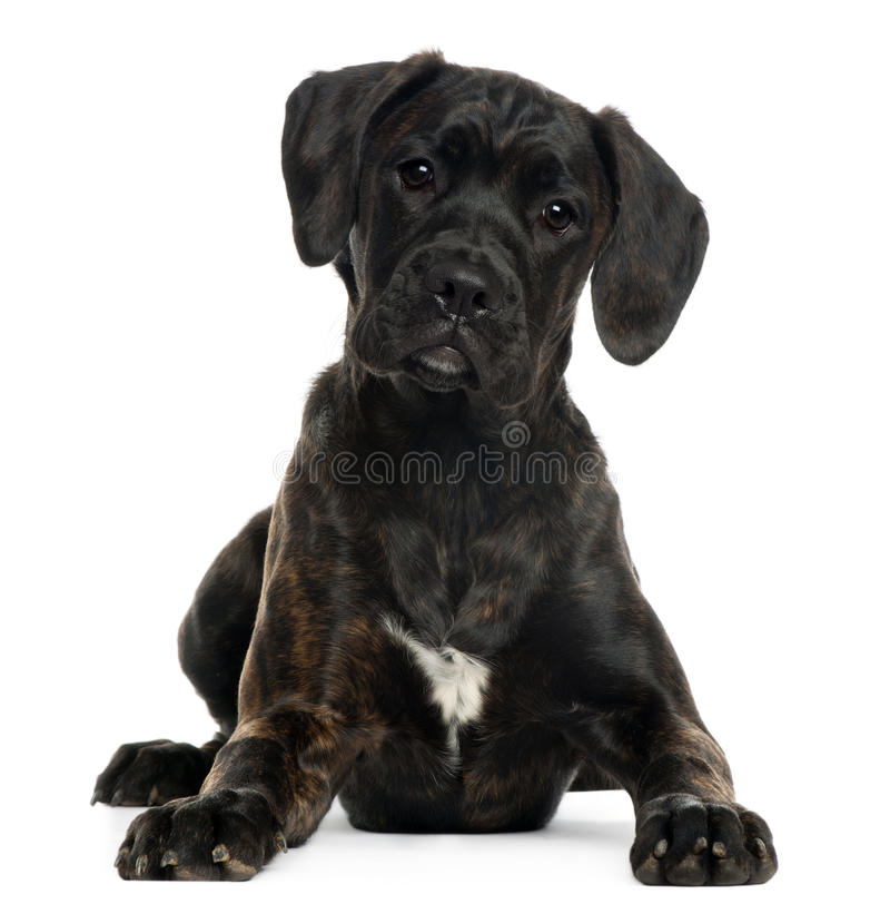 Download Mixed-breed Puppy, 4 Months Old, Lying Stock Photo - Image: 18989642