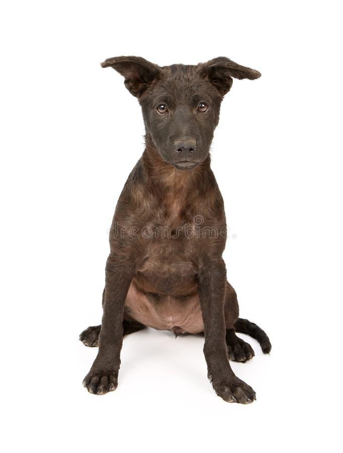 Mixed Breed Puppy With Black Coat stock photo