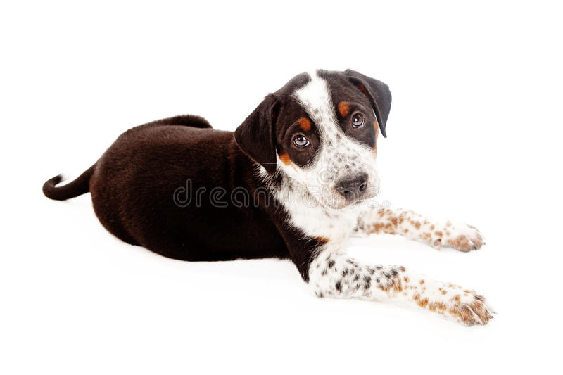 Mixed Breed Puppy Laying Down. A mixed Rottweiler and Shepherd breed puppy dog laying against a white backdrop and looking up stock image