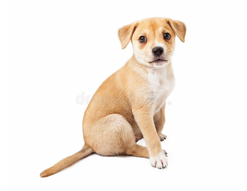 Mixed Breed Puppy Profile. A cute mixed Shepherd and Labrador mixed breed puppy sitting to the side royalty free stock photography