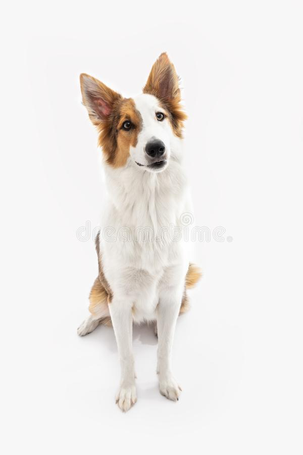 Mixed-breed puppy is sitting on the floor. In front of a white background stock images