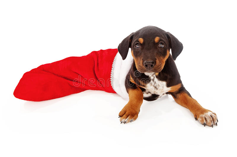 Mixed Breed Puppy in Stocking. A mixed breed Rottweiler puppy laying inside a red Christmas stocking stock photo