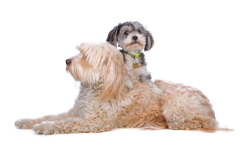 Mixed breed puppy and tibetan terrier royalty free stock images