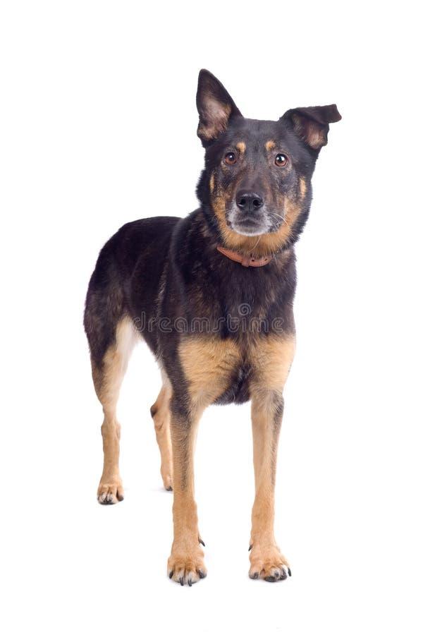 Mixed breed shepherd dog. Isolated on white background royalty free stock images