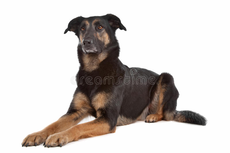 Mixed breed shepherd dog. In front of a white background stock photos