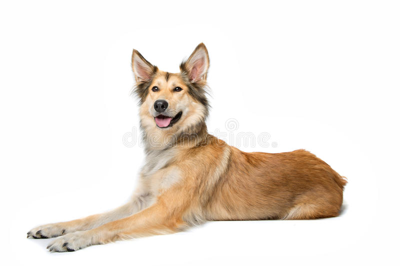 Mixed breed shepherd dog. Lying in front of a white background royalty free stock image