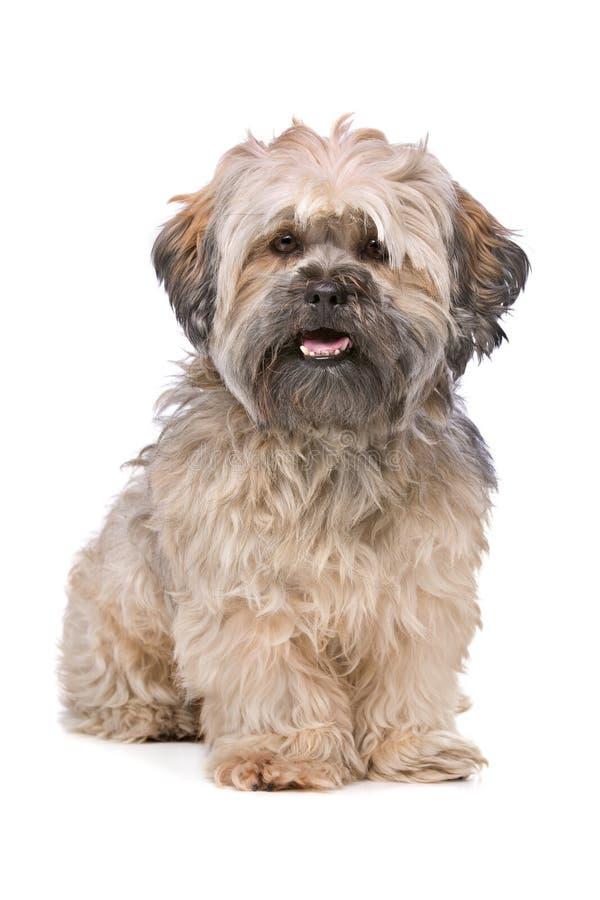 Mixed breed small fluffy dog royalty free stock photography