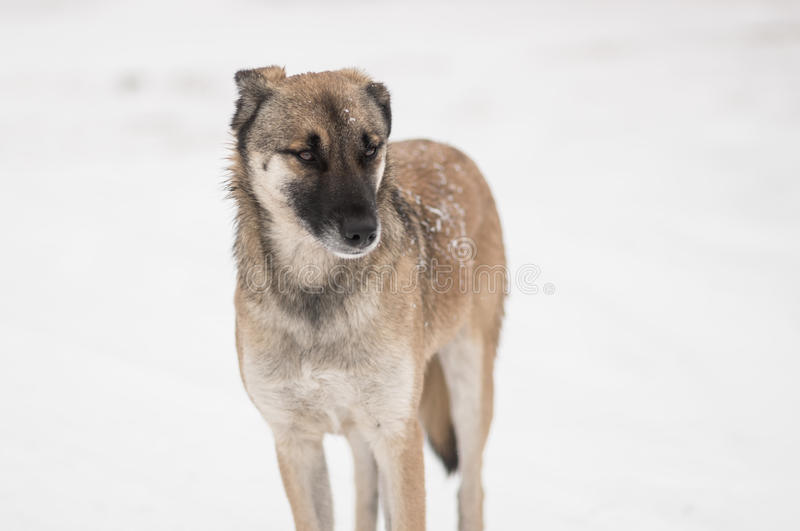 Mixed-breed, stray dog standing on a winter street. Lonely mixed-breed, stray dog standing on a winter street royalty free stock photo