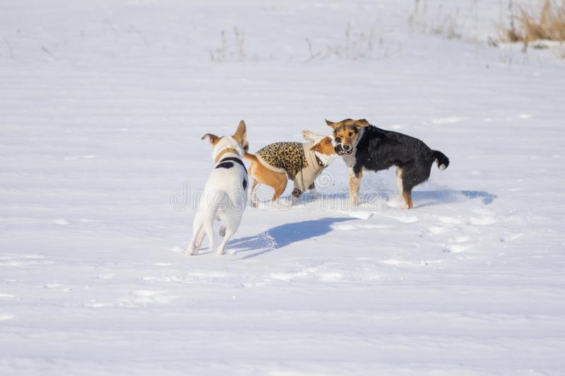 Mixed breed white and black dogs attacking basenji dog royalty free stock images